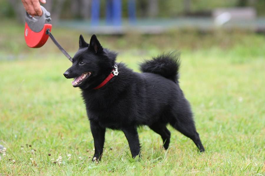 Шипперке – фото собаки, описание породы, цена щенков, видео