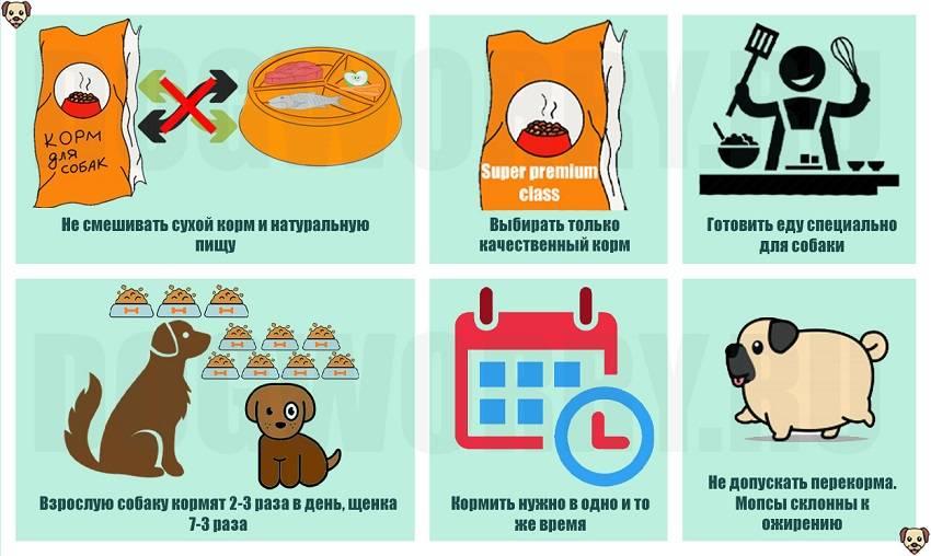 Чем кормить мопса: рацион питания взрослой собаки и кормление щенка, отзывы какой сухой корм лучше
