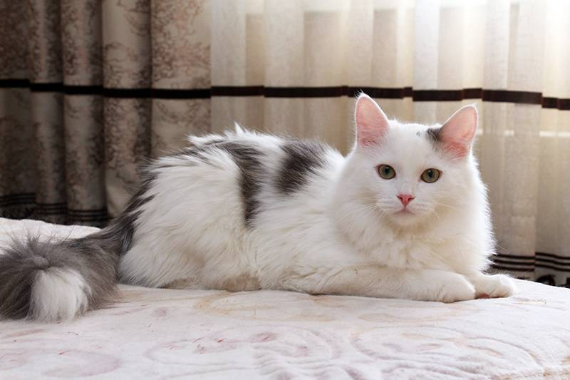 Породы рыжих котов – фото, характеристика и описание