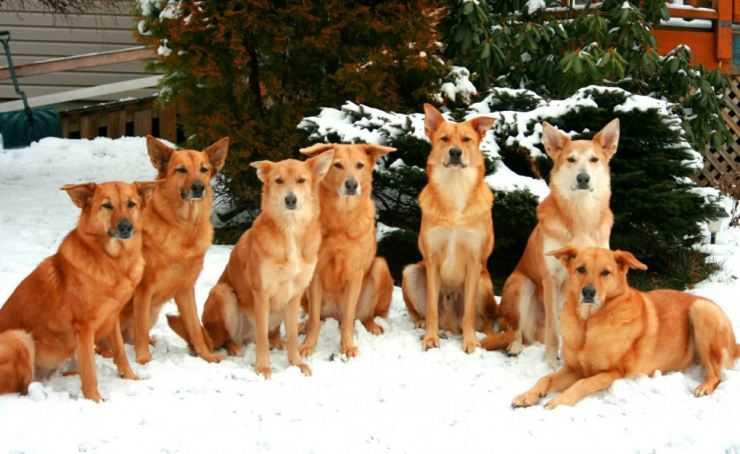 Сиба-ину — основные виды, советы по уходу, описание характера и цена собаки (140 фото и видео)