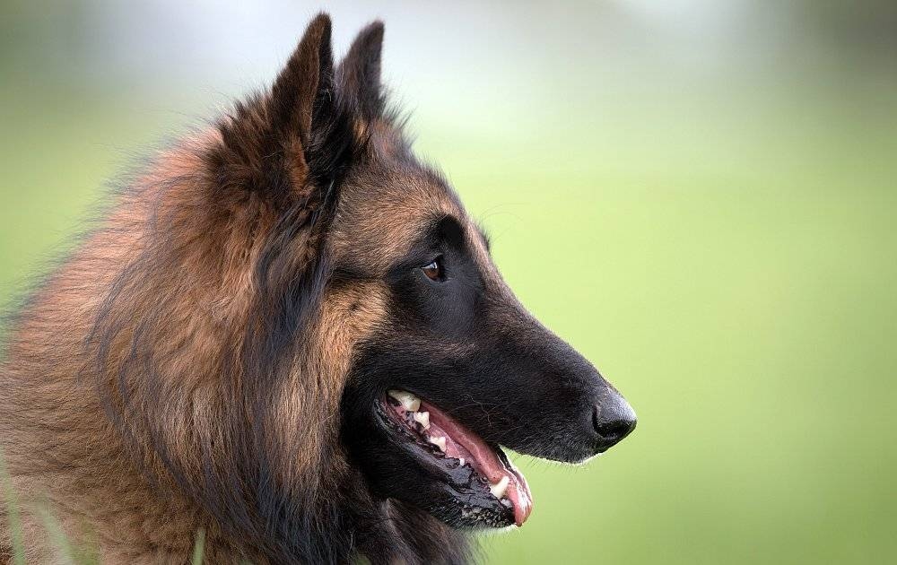 Бельгийская овчарка: все о собаке, фото, описание породы, характер, цена