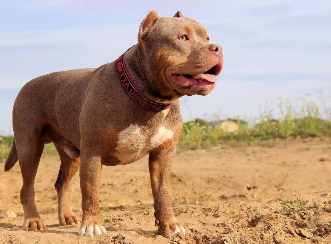 Булли (американский булли): описание породы собак с фото и видео