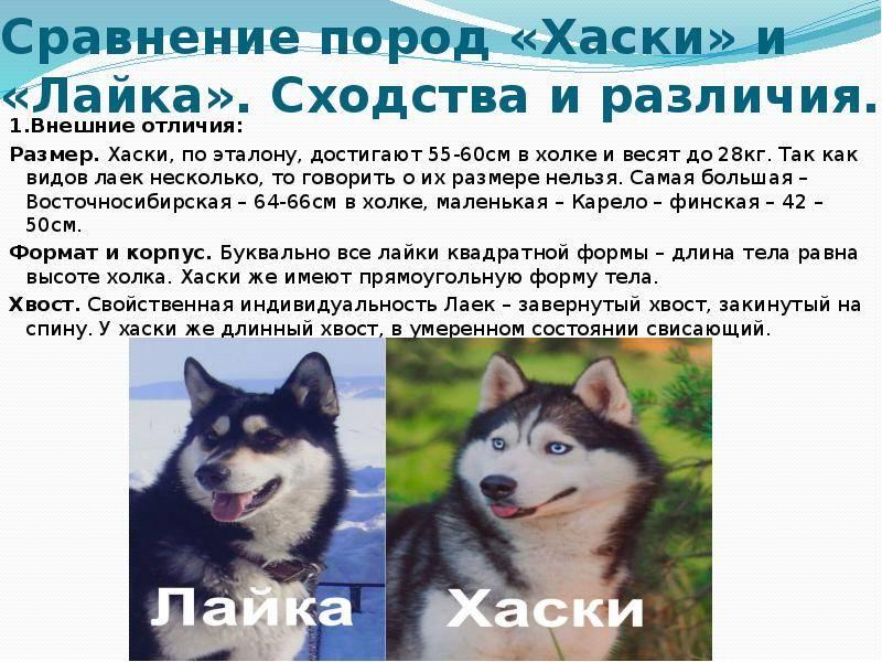 Лайка и хаски – в чем разница пород: сравнение собак, кого выбрать