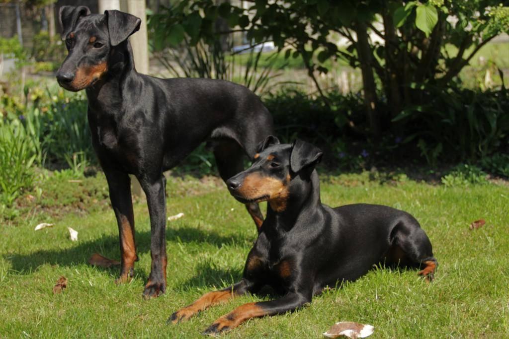 Манчестер терьер собака. описание, особенности, уход и цена манчестер терьера