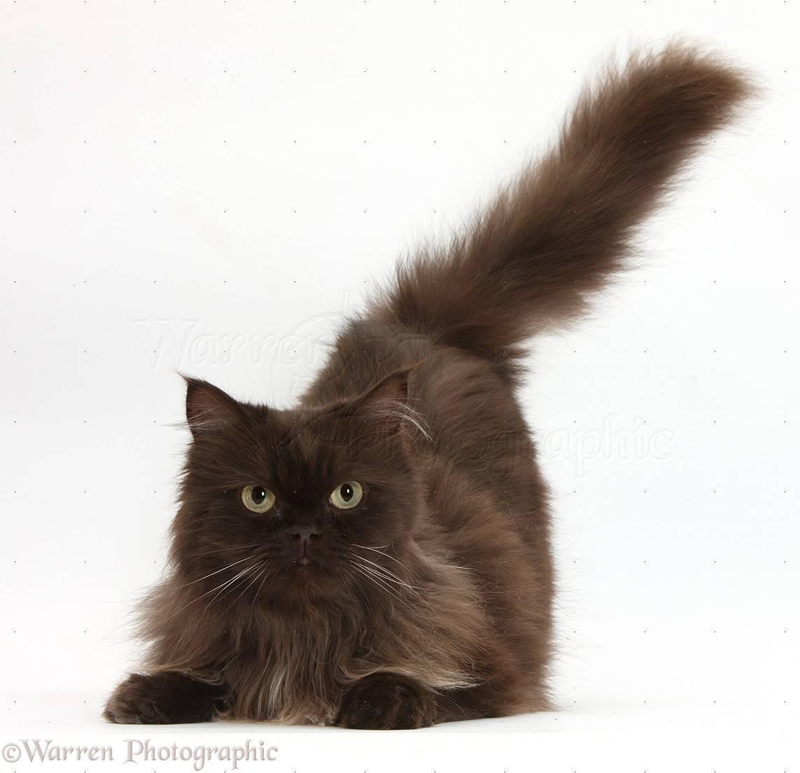 Йоркская шоколадная кошка: описание, характер, уход, фото