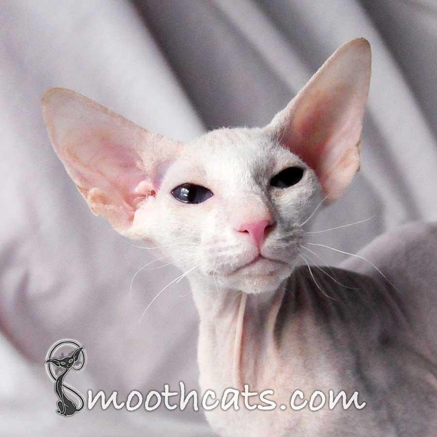 Описание и характер кошек форин вайт