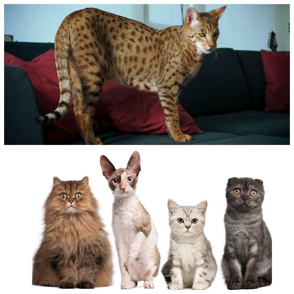 Самые дорогие кошки: топ 10 пород с фото