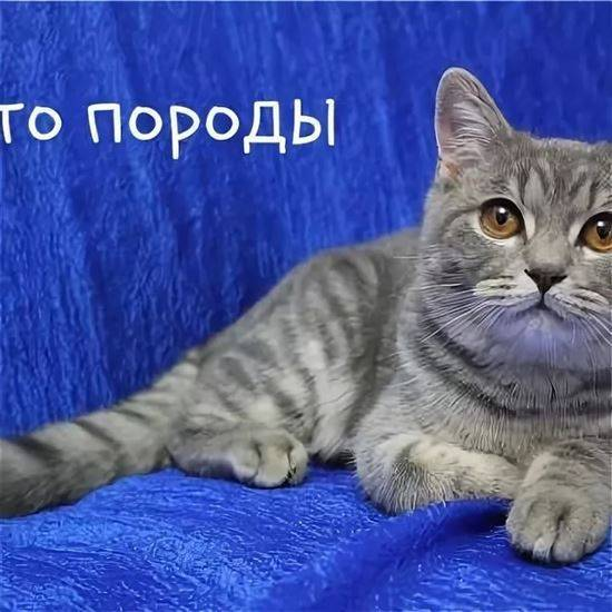 Шотландская длинношерстная прямоухая кошка хайленд-страйт: описание породы