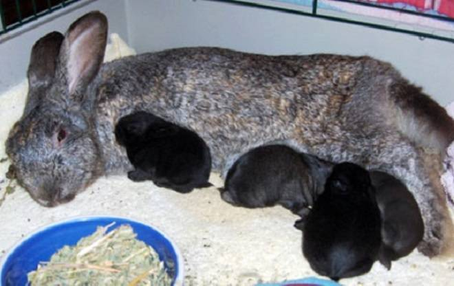 Почему крольчиха разбрасывает крольчат из гнезда сразу после окрола