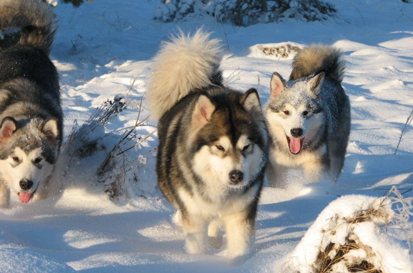 Порода собак аляскинский маламут: описание, фото, цена