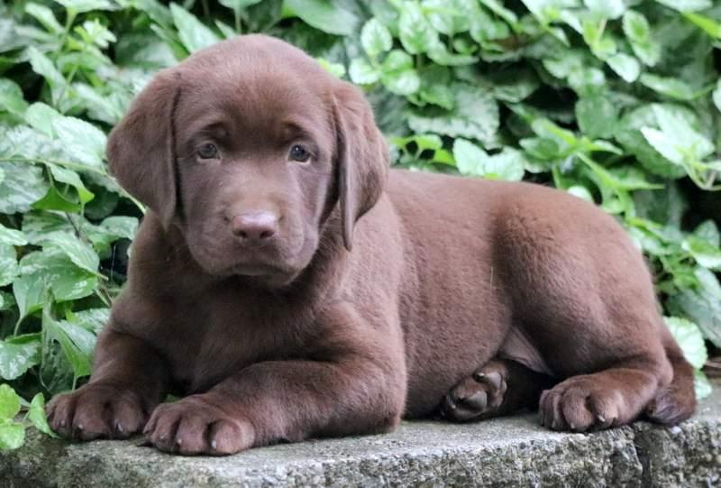 Как выглядит шоколадный лабрадор-ретривер: описание особенностей собак и основные правила ухода
