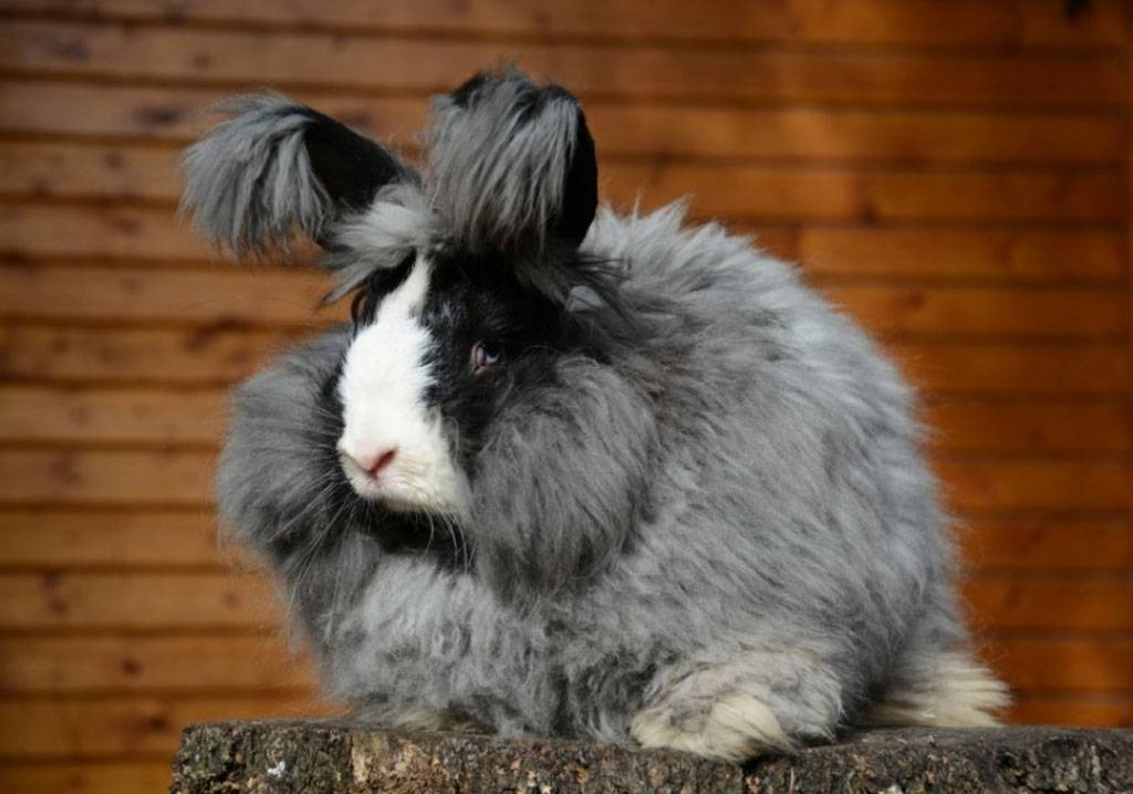 Ангорский кролик: породы, фото, содержание и уход