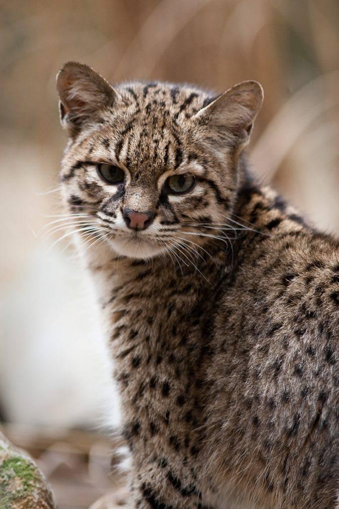 Кошка сафари – домашний «леопард»