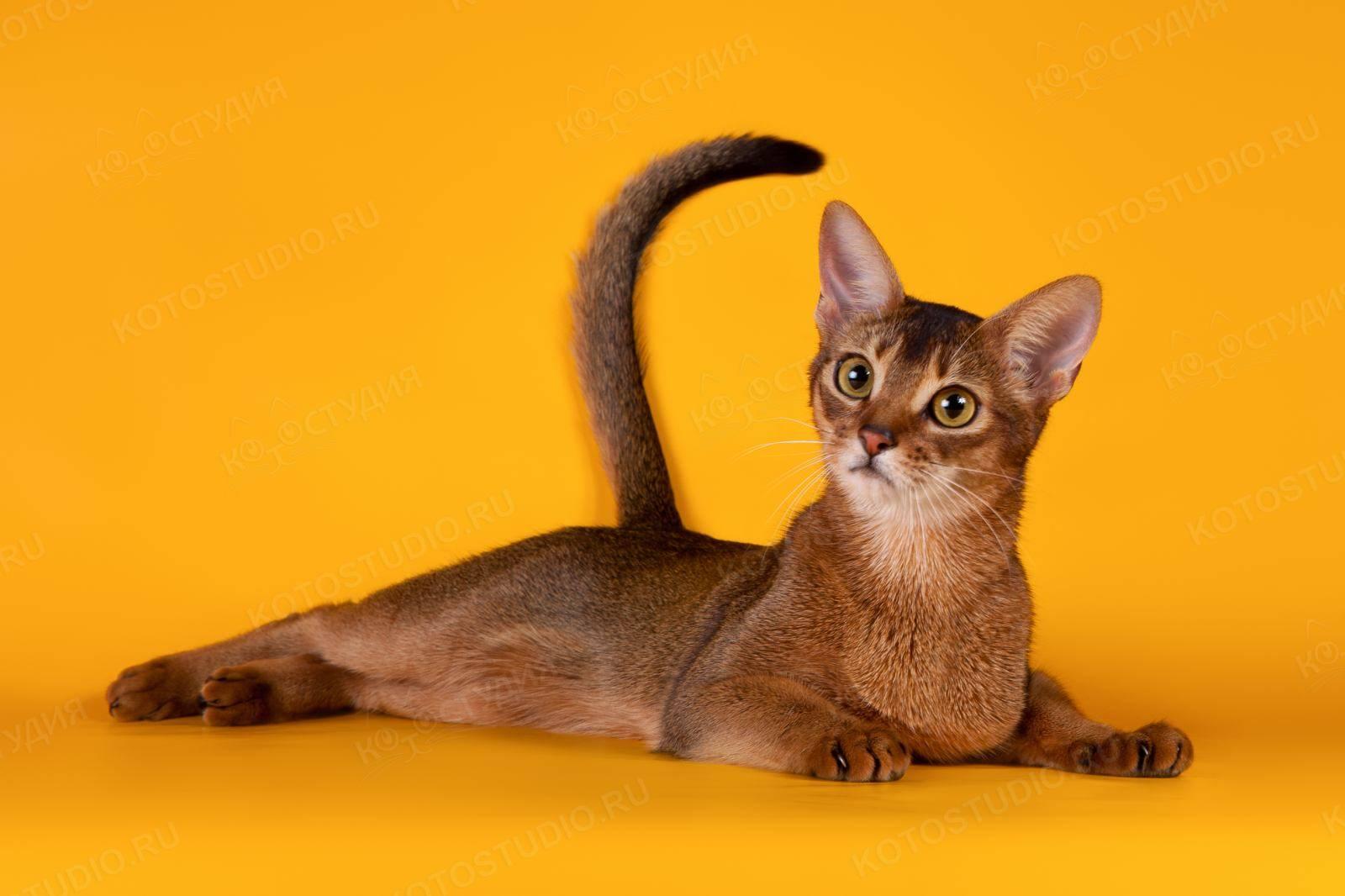 Самые ласковые породы кошек: обзор пород с фото