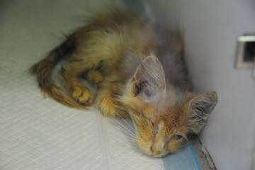 Панлейкопения кошек (кошачья чумка)
