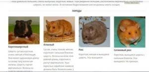 Породы хомяков: как выглядят домашние и дикие, какие существуют виды, размеры