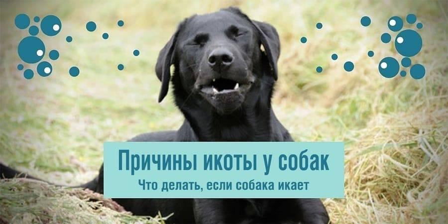 Почему собака икает? икота у щенков. что делать?