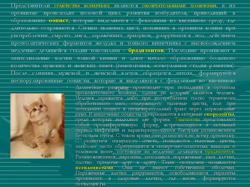Все что нужно знать о путях передачи токсоплазмоза от котов к людям