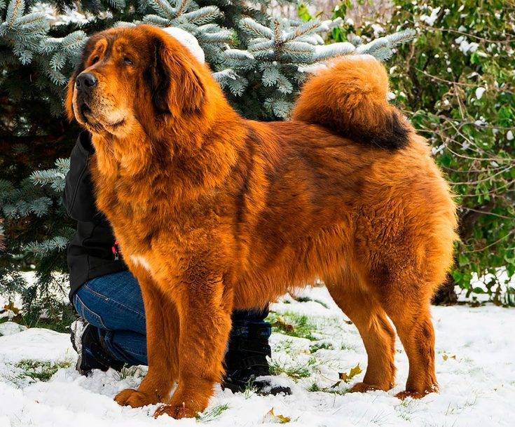 Тибетский мастиф: характеристика породы и описание характера собаки