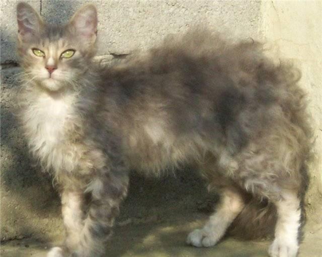 Лаперм кошка – усы с перманентом
