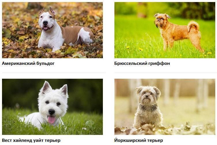Топ 9 ᐈ породы собак для аллергиков - гипоаллергенные собаки