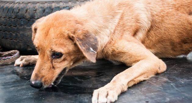 Бешенство у собак: симптомы и признаки, формы течения, опасность для человека, существует ли лечение бешенства у собак