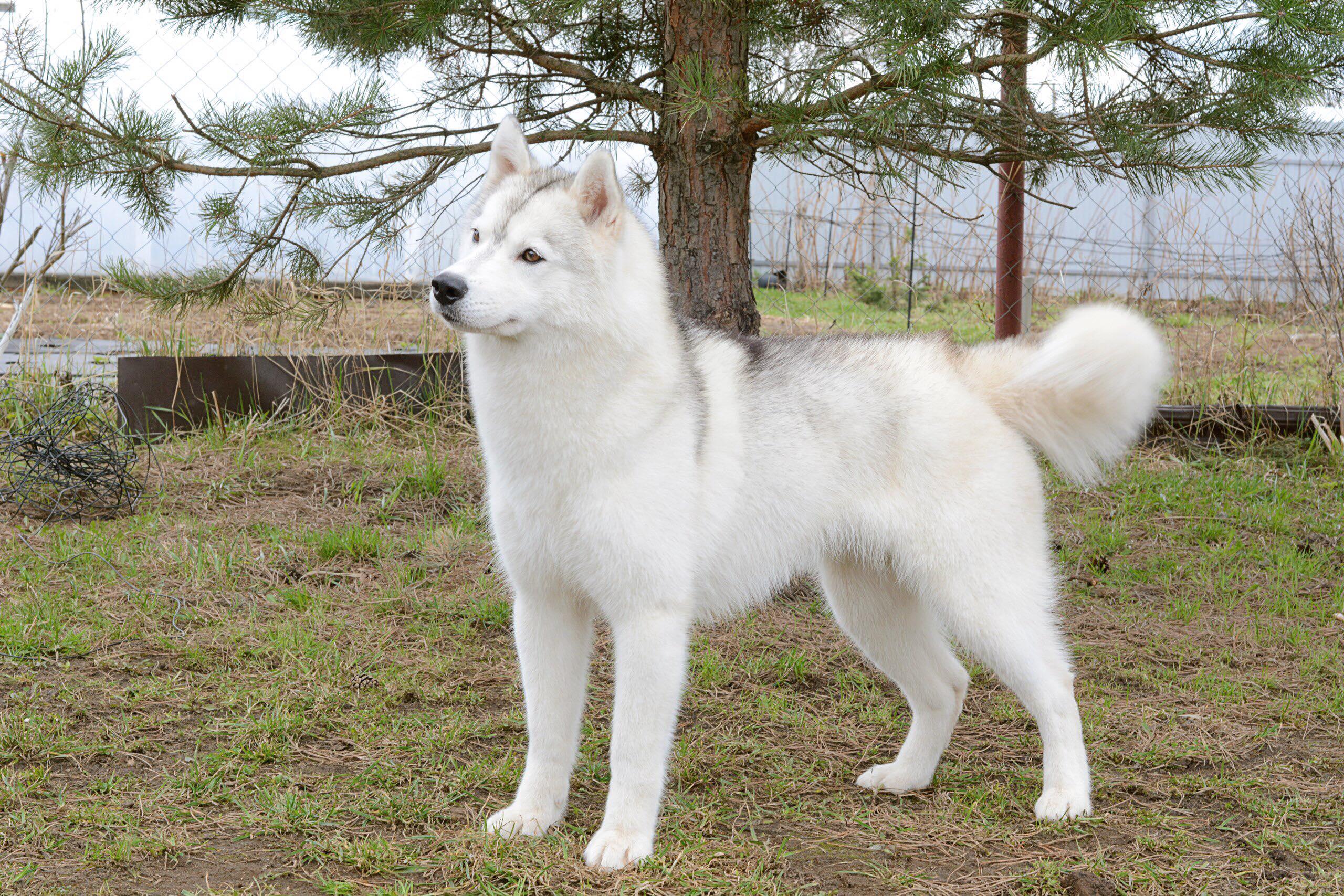 Ездовые собаки: 20 пород с названиями и фотографиями