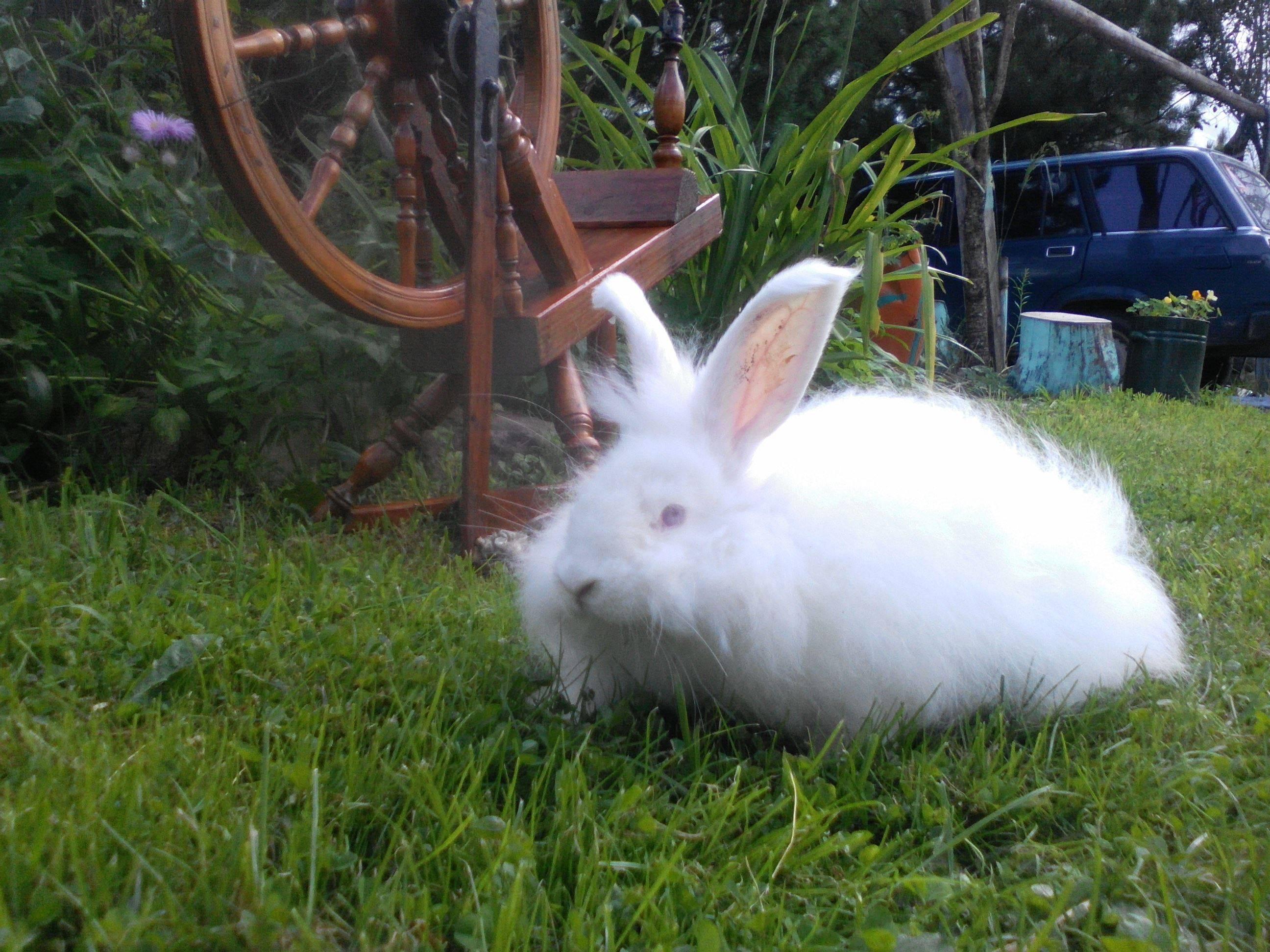 Ангорский кролик — рассказываем по порядку