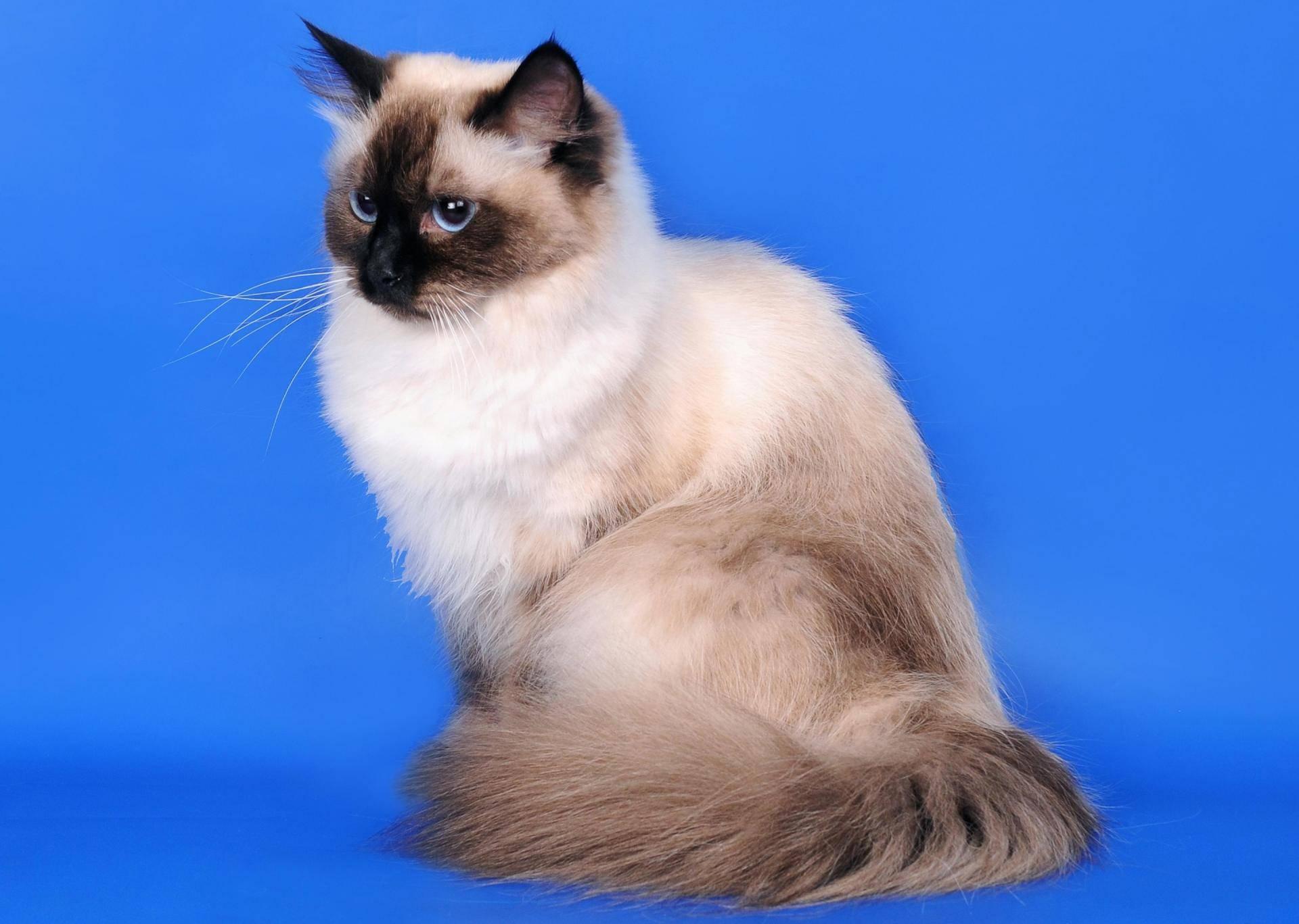 Невская маскарадная кошка: описание породы, характер, отзывы
