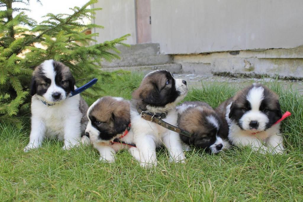 Московская сторожевая (64 фото): характеристика породы, описание характера щенков и взрослых собак. как выглядят и сколько живут?