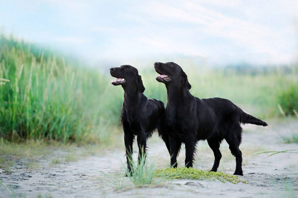 Описание породы собак прямошерстный ретривер с отзывами владельцев и фото