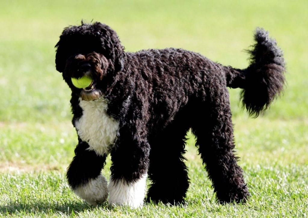 Испанская водяная собака: описание породы, характер, где купить, цена, фото, видео