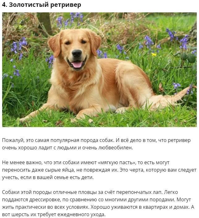Стандарт породы лабрадор: как выглядит собака и каким поведением отличается