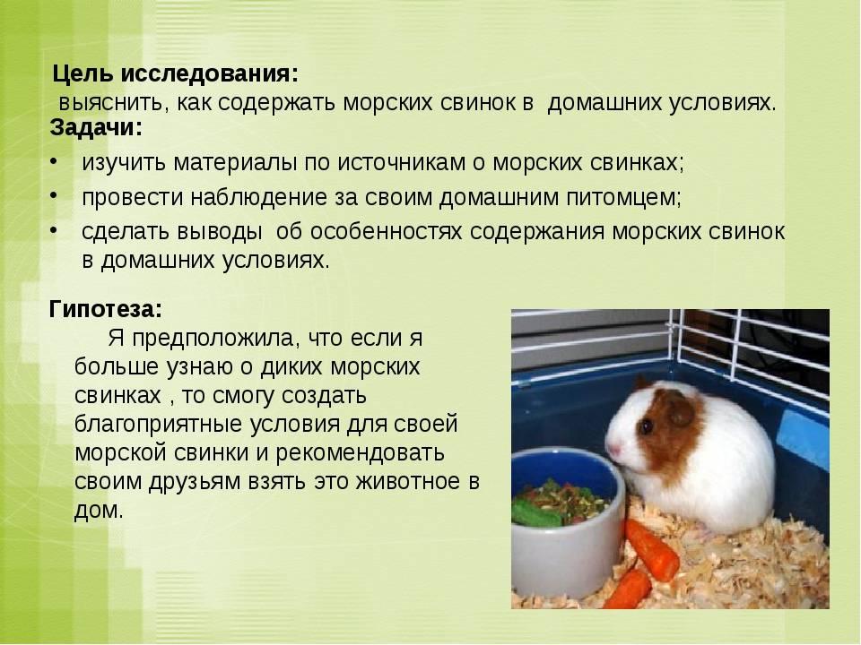 Морская свинка: плюсы и минусы содержания зверька в квартире и доме, стоит ли заводить зверька ребёнку