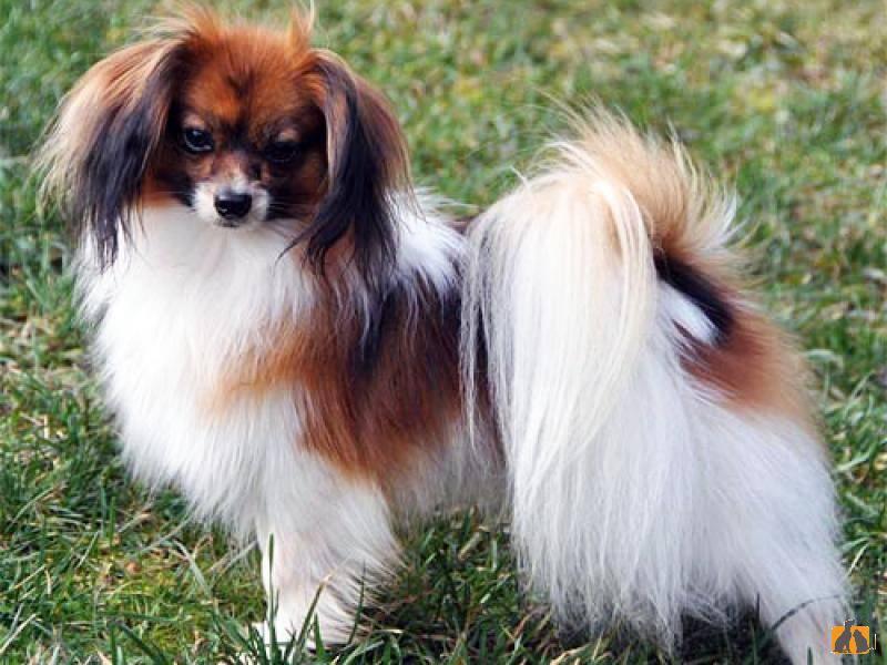 Фален (36 фото): описание собак, плюсы и минусы породы. особенности содержания