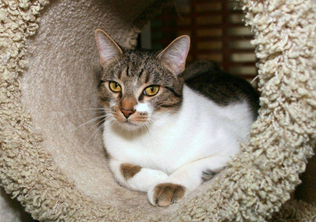 Азиатская кошка (18 фото): описание пород. как выглядят дымчатая короткошерстная кошка и кот?