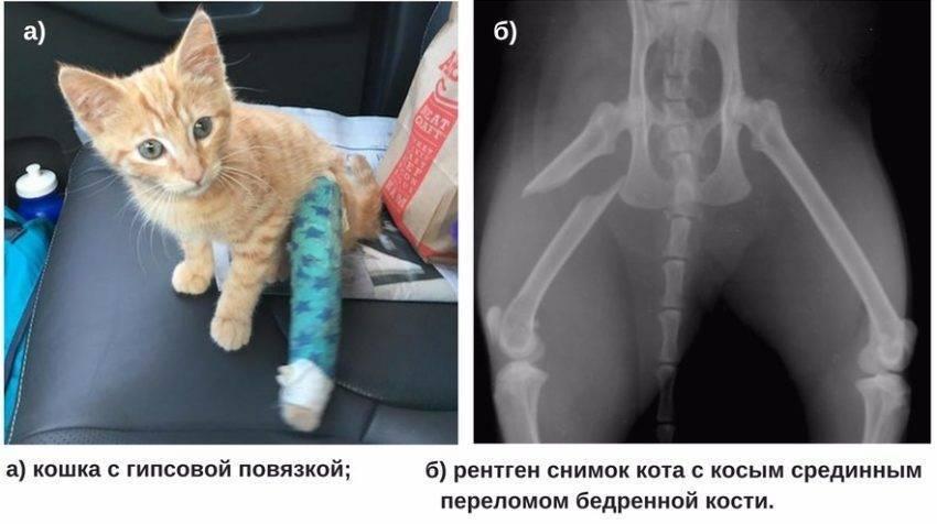 Как помочь кошке вылечить перелом или вывих
