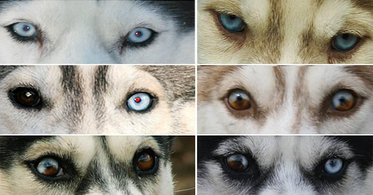 Хаски с разными глазами
