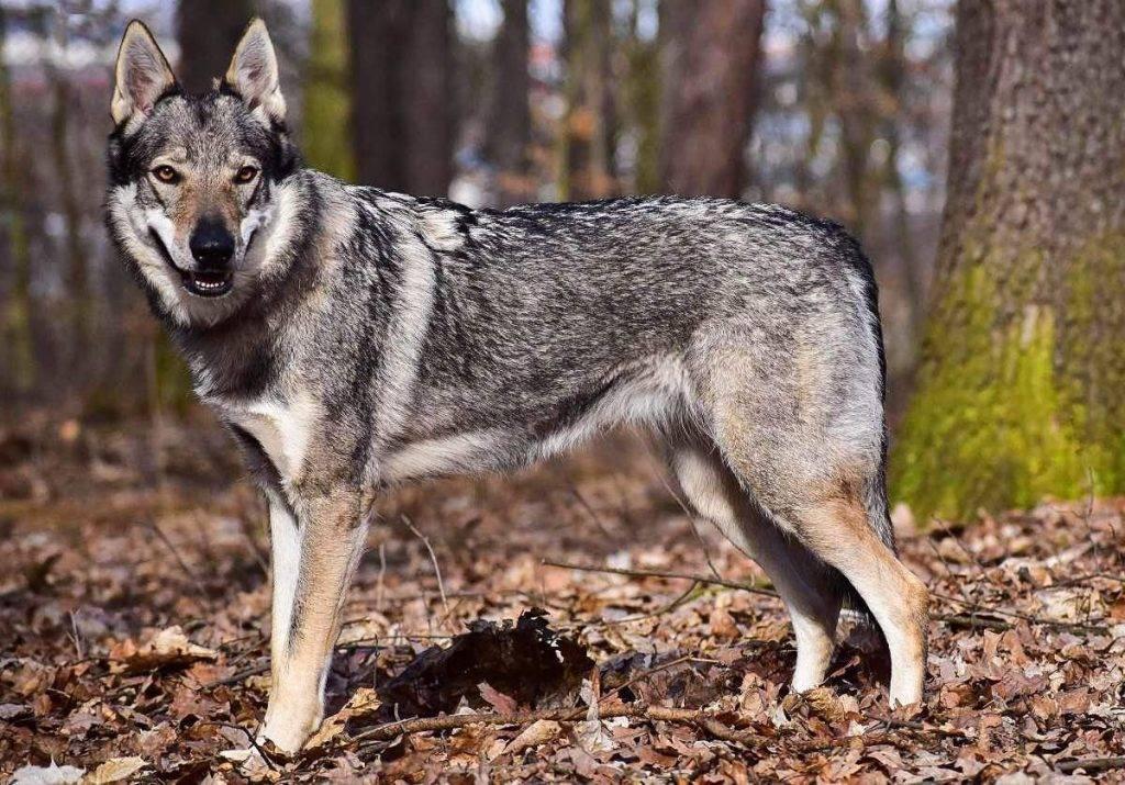 Чехословацкая волчья собака (чешский волфхунд, чехословацкий волчак): фото, купить, видео, цена, содержание дома