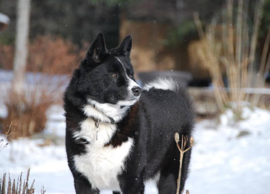 Карельская медвежья собака - удивительный мир - медиаплатформа миртесен