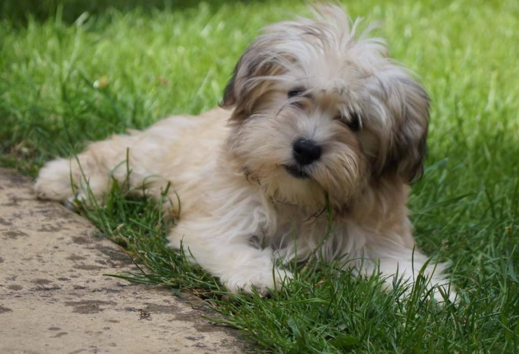 Гаванский бишон собака. описание, особенности, уход и цена гаванского бишона   sobakagav.ru