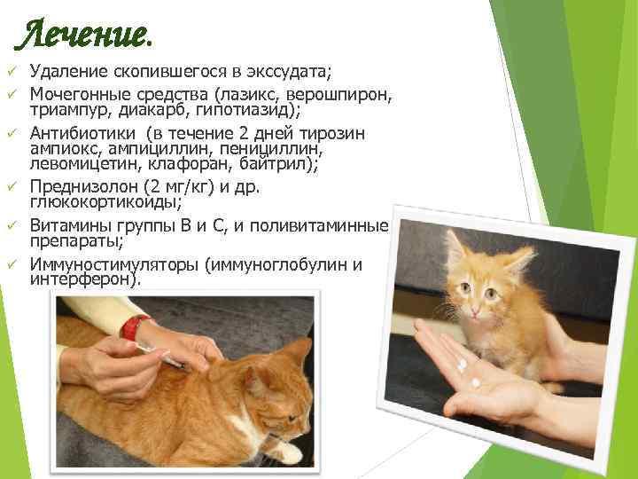 Кальцивирус у кошек