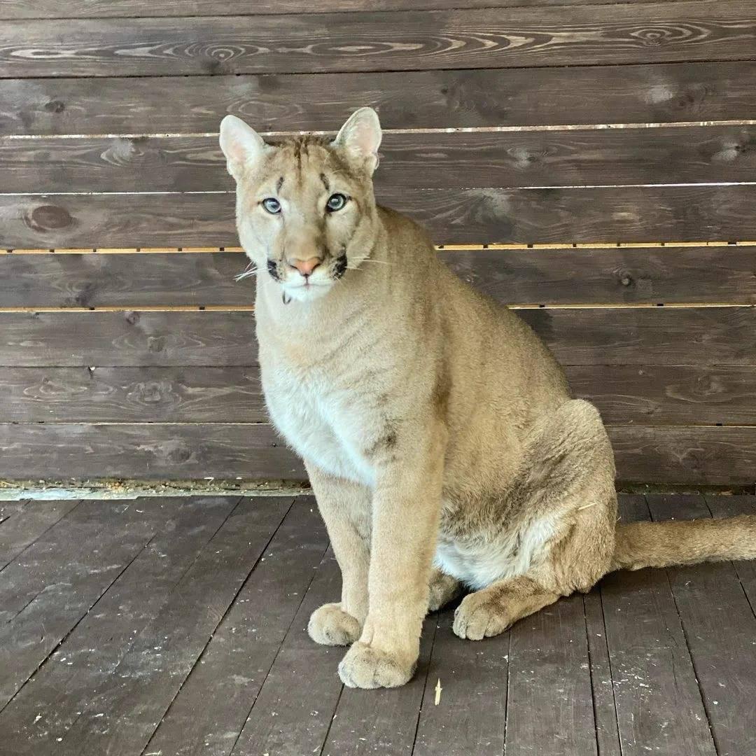 Горный лев, пума или катамаунт? мировой рекордсмен по количеству разных имен