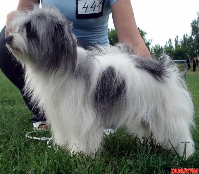 Одис. все про породу собаки, фото и правила содержания