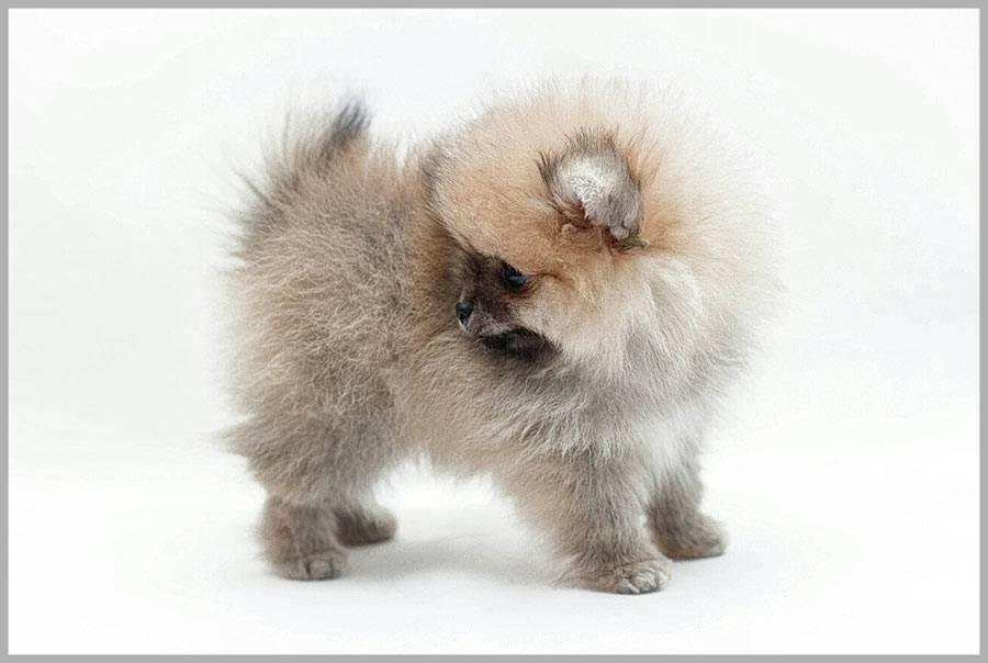 Шпиц (86 фото): описание породы. какие бывают разновидности: их названия и характеристика? как выглядят щенки и взрослые собаки? какой характер у шпицев? отзывы владельцев