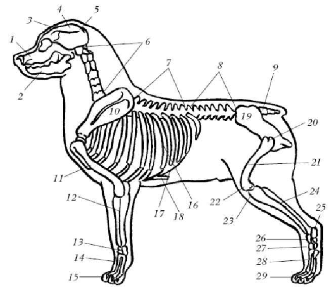 Шпаргалки по анатомии животных - мозговой череп: строение костей и их соединение