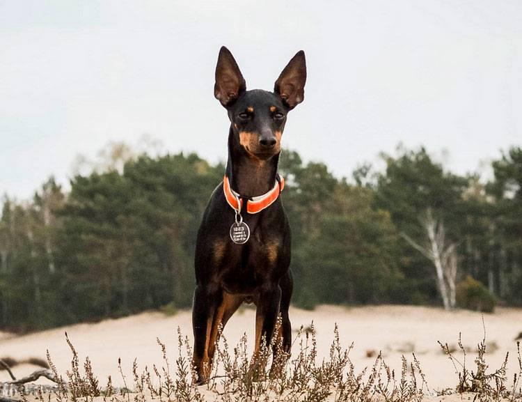 Описание породы «мини той-терьер»: фото собак, особенности характера, продолжительность жизни, уход и питание