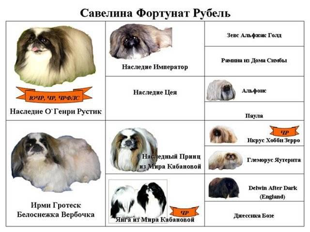Императорский пес с милой мордашкой – пекинес