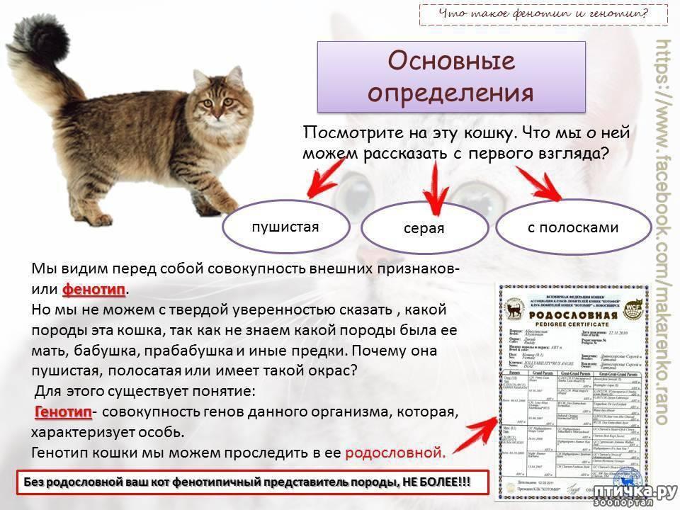 Документы породистых кошек — родословная, метрика или сертификат, ветпаспорт.