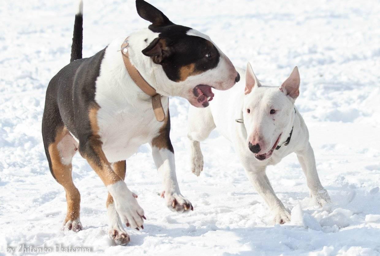 Миниатюрный бультерьер: фото, характеристика, описание | все о собаках